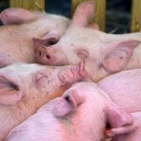 La scommessa di uno studio Usa: staminali per creare un pancreas umano in un maiale