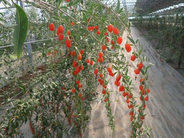 Tutti pazzi per il goji la bacca rossa si coltiva anche for Coltivazione goji