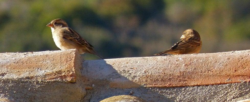 I passeri percepiscono l'infedeltà delle compagne. E danno loro meno cibo