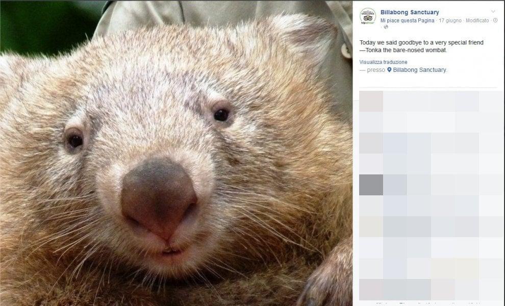 Australia, è morto Tonka il vombato triste: foto e ricordi sui social