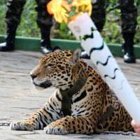 Rio 2016, giaguaro fugge dopo passaggio torcia olimpica: ucciso
