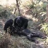 Anche le scimmie piangono la scomparsa di un loro simile
