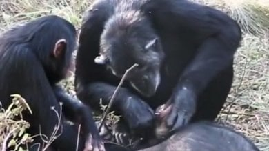 Anche le scimmie piangono  la scomparsa di un loro simile   Foto