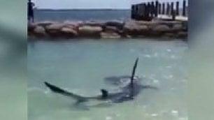 Tutti fuori dall'acqua c'è uno squalo martello a riva