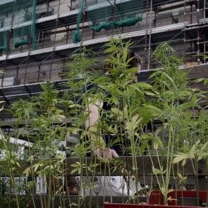Cannabis: 25 luglio in Aula Camera pdl per legalizzazione