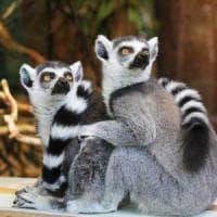 """""""Sono i lemuri l'anello mancante nell'evoluzione del comportamento umano"""""""