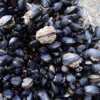 L'acidificazione degli oceani stacca le cozze dagli scogli
