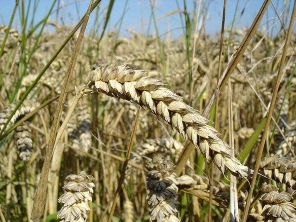"""Guerra del grano in Italia, prezzi in picchiata: """"Basta import selvaggio"""""""
