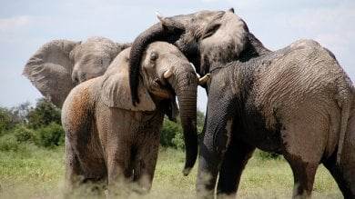 Tra 25 anni gli elefanti spariranno dall'Africa