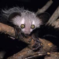 Anche ai lemuri piace l'alcol