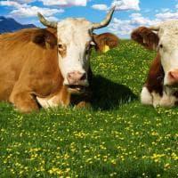 Tutte le cure per la mucca
