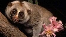 Anche i lemuri hanno  un debole per l'alcol