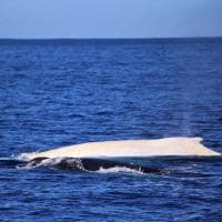 Il ritorno della balena bianca più famosa. Avvistata in Australia dopo 2 anni