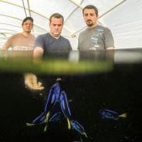 """""""Alla ricerca di Dory"""" in allevamento: così i biologi salveranno il pesce chirurgo"""