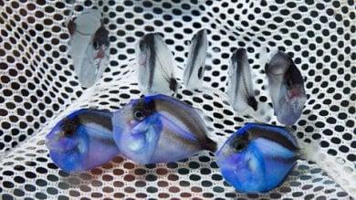 """""""Alla ricerca di Dory"""" in allevamento   foto    Così i biologi salveranno il pesce chirurgo"""