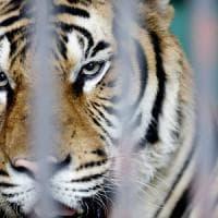 La tigre è a rischio, meno di 2mila nel mondo:
