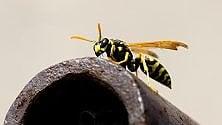 Perché alle vespe   foto   non conviene mentire  di SIMONE VALESINI