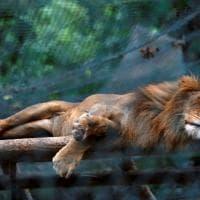 Venezuela, emergenza cibo anche negli zoo: decine di esemplari morti di fame