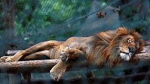 Emergenza cibo anche negli zoo mango e zucca a leoni e tigri