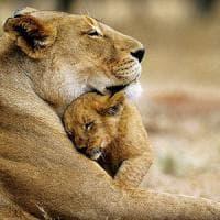 Dal leone all'elefante, il 60% dei grandi mammiferi rischia l'estinzione