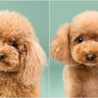 Usa, anche i cani vanno dall'hair stylist: gli animali prima e dopo la toletta