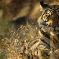 Oggi il Tiger Day. Wwf chiede la chiusura dei centri in Asia