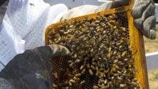 Colonie di api diminuite del 12% in Europa