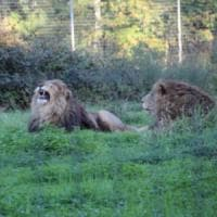 World Lion Day, l'appello per salvare i leoni corre sui social