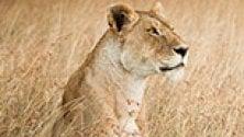 L'appello per salvare  i leoni corre sui social