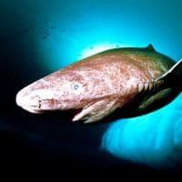 Quattrocento anni e non sentirli: è lo squalo della Groenlandia il vertebrato più longevo