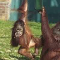 Orangutan Day: entrata libera allo zoo per chi ha i capelli rossi