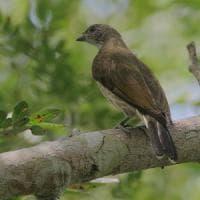 L'uccello indicatore capisce l'uomo: così le specie comunicano da millenni