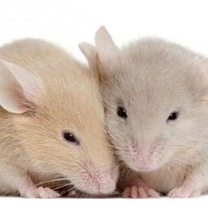 Quel profumo di femmina che alla lunga stanca i maschi... di topo