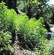 La cannabis di Stato vale 3 miliardi di risparmi