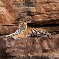 India, muore la regina delle tigri: Machli aveva 19 anni
