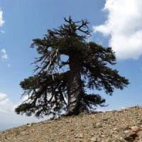 L'abitante più anziano d'Europa? Gli studiosi: ''E' un pino bosniaco''