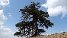 Tra i più anziani d'Europa: un pino di 1075 anni
