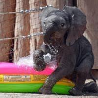 L'elefantino sfugge al caldo: il bagnetto di Ayo
