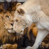 Texas, lieto fine per Sheila e Khan: i due leoni sfruttati ora sono inseparabili