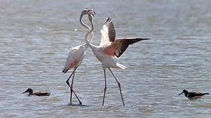 Danza dei fenicotteri sul litorale