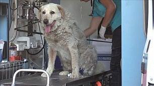 Il coraggio del cane Bravo 3 giorni a guardia della casa