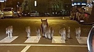 Mamma cinghiale e otto cuccioli  a spasso in pieno centro tra le auto