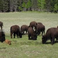 Usa, il ritorno dei bisonti: occupano in massa il Grand Canyon National Park