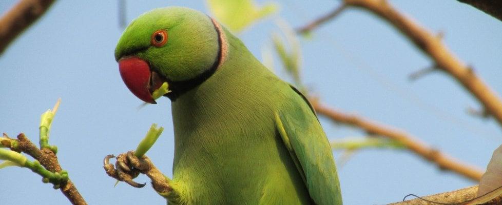 Dai tropici a Regent's Park, i pappagallini invadono Londra