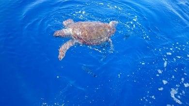 Isole Eolie, SOS tartarughe   foto   un pronto soccorso per salvarle