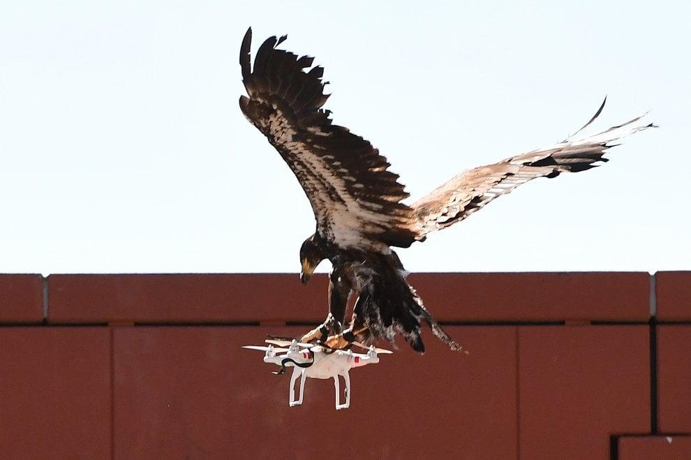 Olanda, la polizia usa aquile contro i droni illegali