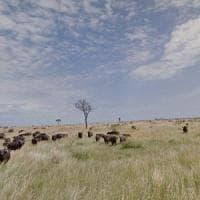 Sudafrica, ippopotami e bufali uccisi nei parchi per combattere la siccità