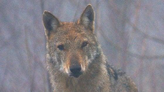 """La Norvegia autorizza la mattanza dei lupi: """"Possibile ucciderne il 70%"""""""