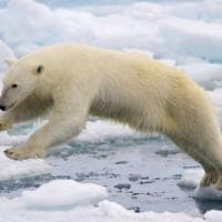 L'orso polare diventa cannibale per colpa del riscaldamento globale