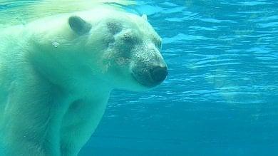 L'orso polare sta diventando cannibale  per colpa del riscaldamento globale